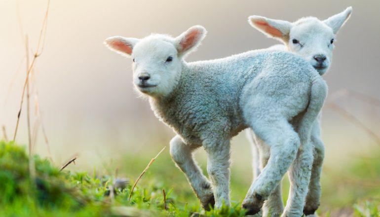 Abstammungs- und Identitätsnachweise für Schafe…